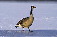 Kanadagans, Vogel auf Eis, Kanada-Gans, Gans, Branta canadensis, Canada goose