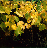 Leaves turning on the vine&#xA;<br />