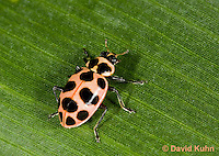 0109-0907  Pink Spotted Lady Beetle, Coleomegilla maculata  © David Kuhn/Dwight Kuhn Photography.