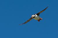 Papageitaucher, Papageientaucher, im Flug, Flugbild, fliegend, Papagei-Taucher, Fratercula arctica, Atlantic puffin, Vogelfels, Vogelfelsen