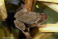 FR20-020z  Wood Frog - mating, female laying eggs - Lithobates sylvaticus, formerly Rana sylvatica