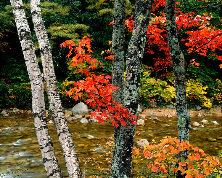 Birch tree trunks and Maple trees in fall color along a river; White Mountain National Forest, NH