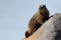 Marmot, Yellowstone