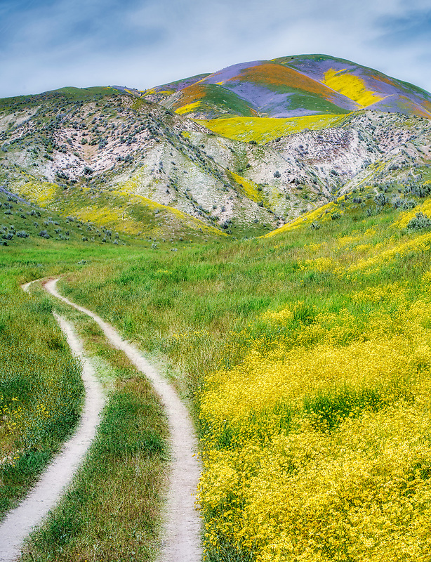 Field of Hillside Daisies (Monolopia lanceolata) and dirt road Carrizo Plain National Monument, California