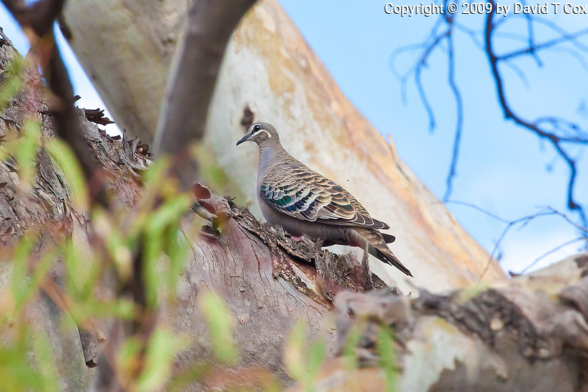 Common Bronzewing, Darling River by Wilcania Caravan Pk, NSW, Australia