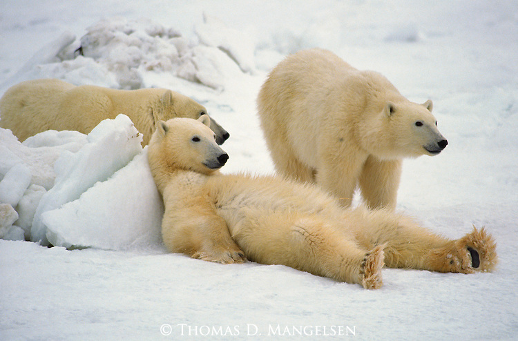 Polar Bears wait together for ice to form on Hudson Bay in Manitoba, Canada.