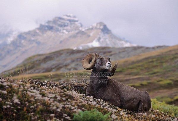 Bighorn Sheep, Mountain Sheep(Ovis canadensis), adult resting, Jasper National Park, Alberta, Canada
