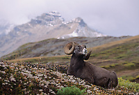 Bighorn Sheep, Mountain Sheep(Ovis canadensis), adult resting, Jasper National Park, Alberta, Canada