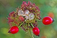 Gemeine Rosengallwespe, Rosen-Gallwespe, Gallwespe hat Galle an Rose, Rosa erzeugt, Rosenapfel, Rosengalle, Schlafapfel, Bedeguar, Bedeguare, Diplolepis rosae, mossy rose gall wasp, bedeguar gall wasp, Rose bedeguar gall, Robin's pincushion gall, Moss gall