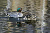 Pair of Green-winged Teals swimming on a pond