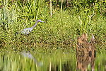 Damon, Texas; a little blue heron reflects in the surface of the slough in early morning sunlight