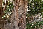 T-114 White Poplar trees in the Upper Galilee