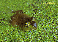 FR01-009b  Bullfrog - adult in duckweed pond - Lithobates catesbeiana, formerly Rana catesbeiana