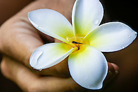 A small fish in a drop of water at the center of a yellow and white plumeria held in a woman's hand, Kane'ohe, O'ahu.