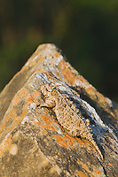 Texas Horned Lizard (Phrynosoma cornutum), adult, Rio Grande Valley, Texas, USA