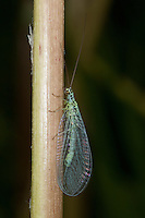 Perlige Florfliege, Goldauge, Grünes Perlenauge, Chrysopa perla, pearly green lacewing