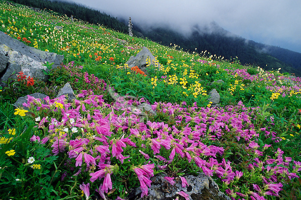 Wildflowers in subalpine meadow of southern Cascade Mountains, WA.  June.
