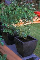 Blueberries Vaccinium corymbosum Highbush berry bushes in container garden pots in backyard