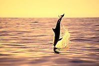 long-snouted spinner dolphin, leaping at sunset, Stenella longirostris, Kealakekua Bay, Big Island, Hawaii, USA, Pacific Ocean
