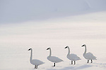 Trumpeter swans (Cygnus buccinator) on the edge of the Upper Yellowstone River. Hayden Valley, Yellowstone National Park, Wyoming, USA. January