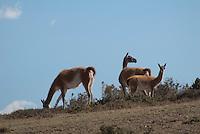 Guanaco (Lama guanicoe)