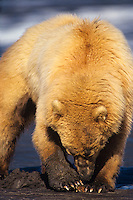 Coastal grizzly or alaskan brown bear digging razor clam, Alaska