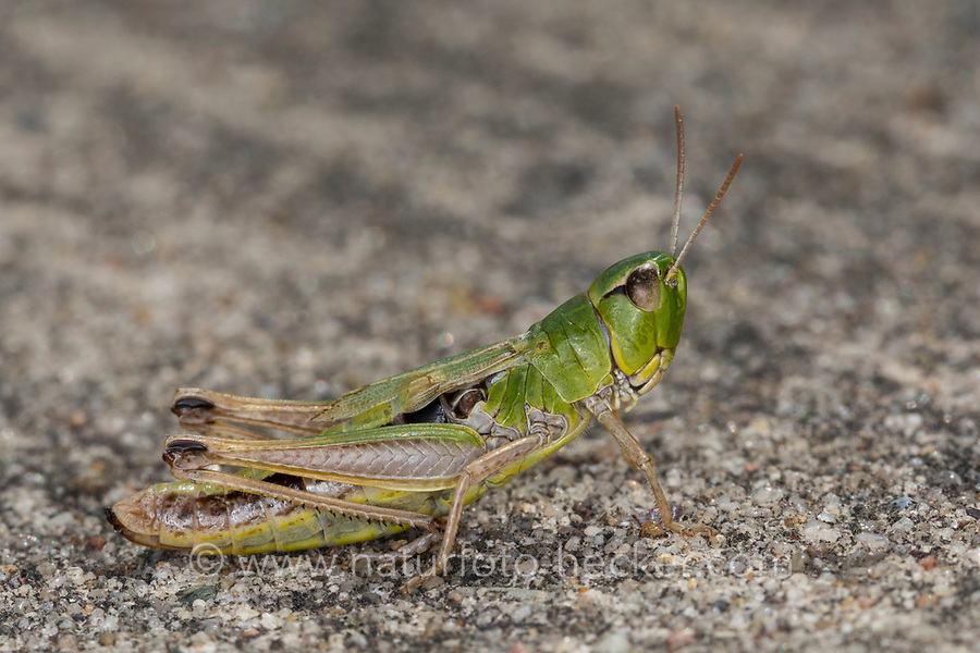 Gemeiner Grashüpfer, Weibchen, Pseudochorthippus parallelus, Chorthippus parallelus, Chorthippus longicornis, common meadow grasshopper, meadow grasshopper, female, le criquet des pâtures