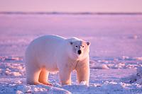 polar bear, Ursus maritimus, 1002 Arctic Coastal Plain of the Arctic National Wildlife Refuge, Alaska ( Arctic ), polar bear, Ursus maritimus
