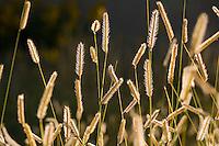 Seed head stalks of Blue grama grass - Bouteloua gracilis