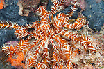 Misool, Raja Ampat, Indonesia; an orange and white striped feather star on a coral reef with blue sponge
