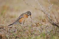 American Robin (Turdus migratorius), adult female pulling worm prey,  Sinton, Corpus Christi, Coastal Bend, Texas, USA