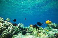 Fish gliding along a reef at Kealakekua Bay, Big Island
