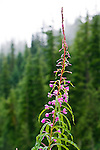 Fireweed frequently continues to bloom after other wildflowers have passed.  A pioneer species, it often occurs along roadsides or is first to appear after a forest fire.  Mt. Rainier National Park.  An herb used by Native Americans and still used in specialty products.