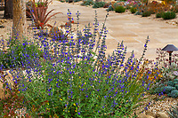 Salvia, sage in summer-dry garden using water capture irrigation from on site cistern; design Urban Water Group, Los Angeles