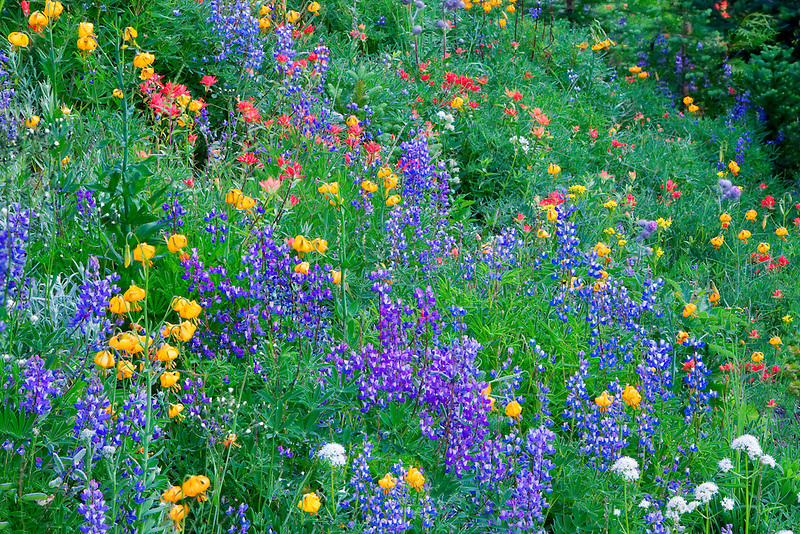 Mixed wildflowers. Mostly lupine, and paintbrush. Hurricane Ridge. Olympic National Park. Washington.