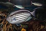 black striped angelfish swimming left