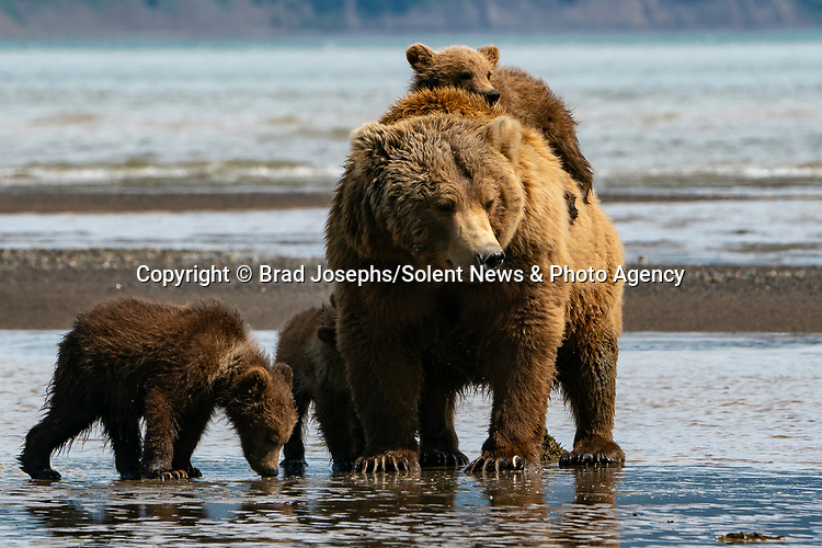 Pictured:  One of the cubs climbing on mum.<br /> <br /> A mother bear smiles at the camera as she poses with her cubs for a family portrait.  The mum appeared to have gathered her three young in for a tightly knit picture, before smiling for the lens.<br /> <br /> In reality, she was panting in the heat of a sunny afternoon and there were at least another ten bears around them so the mother was keeping them close for protection.  The young cubs also clambered over her and used their mother as a pillow as they rested on a grassy plain near the coast in Katmai National Park, Alaska, USA.  SEE OUR COPY FOR DETAILS.<br /> <br /> Please byline: Brad Josephs/Solent News<br /> <br /> © Brad Josephs/Solent News & Photo Agency<br /> UK +44 (0) 2380 458800
