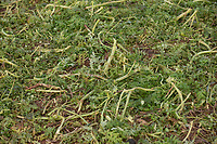 27/11/2020 A cover crop made up of Phacelia, vetch, berseem clover and oats having been grazed by store lambs on heath land in Lincolnshire<br /> ©Tim Scrivener Photographer 07850 303986<br />      ....Covering Agriculture In The UK....