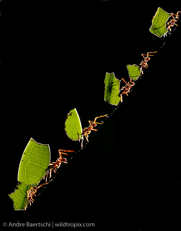 Workers of Leafcutter Ants (Atta sp.) carrying freshly-cut pieces of leaves down a tree in lowland tropical rainforest, Bahuaja-Sonene National Park, Puno, Peru.