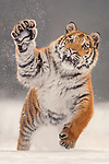 Tiger frolics in the snow by Ina Schieferdecker