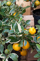 Variegated calamondin Citrofortunella mitis