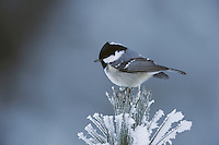 Coal Tit (Parus ater), adult perched on frost covered Swiss Stone Pine by minus 15 Celsius, St. Moritz, Switzerland, December 2007