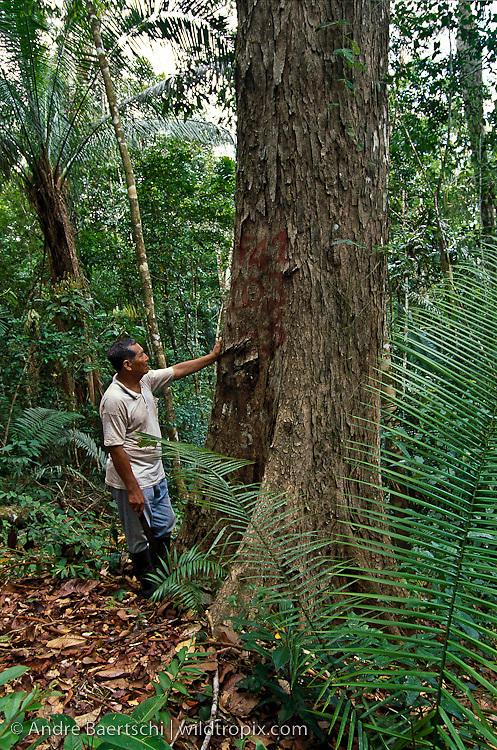 Native Sharanahua Indian at the base of a rare mahogany tree (Siwetenia macrophylla) in primary lowland tropical rainforest, Alto Purus National Park, Ucayali, Peru.