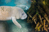 Florida Manatee, Trichechus manatus latirostris, A subspecies of the West Indian Manatee. Manatees feed from the roots at the base of cypress trees surrounding the Three Sisters Springs. Crystal River, Florida.