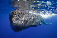 Scar, a 10-year old sperm whale (Physeter macrocephalus) in Dominica, approaches closely.