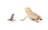 Frilled-neck Dragon and Bearded Dragon