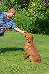 Fox red Labrador retriever - retrieving an orange training dummy.