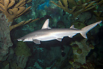 Bonnethead shark swimming left over shallow coral reef.