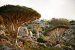 .Dragon's blood tree (dracanea cinnabari) and Cucumber tree (Dendrosicyos) near Omhill. Two endemic species. Socotra island. Yemen
