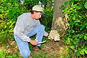 00792-002.04 Hen-of-the-Woods Mushroom: Man has cut mushroom from typical location at base of bur oak tree.